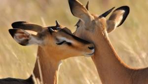 Antelope 9019