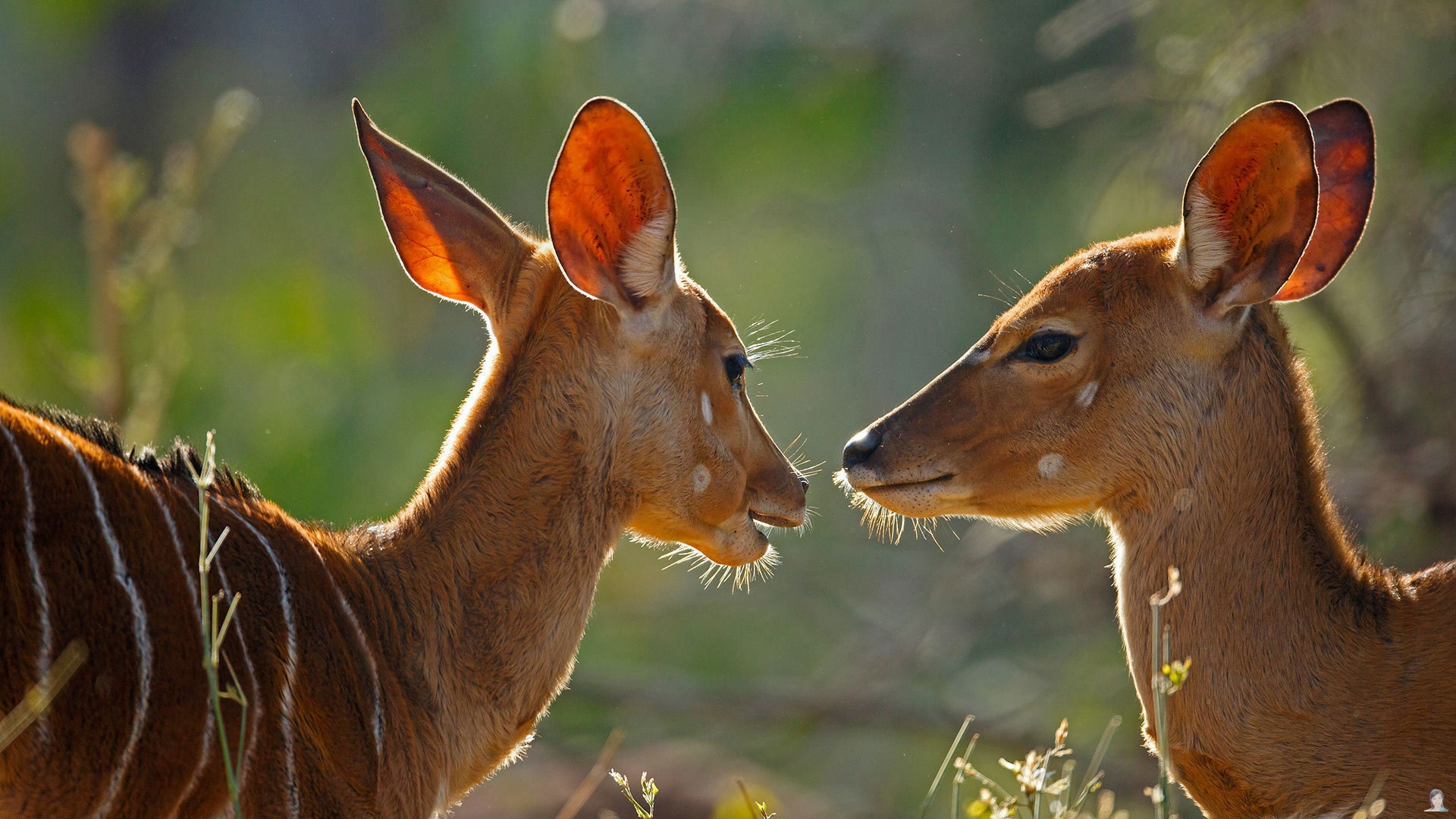 Antelope Background