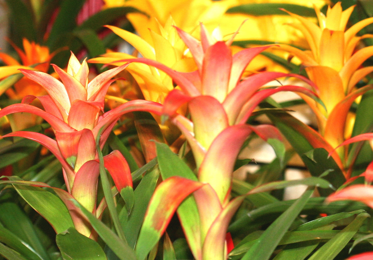 Bromelia Wallpapers HD