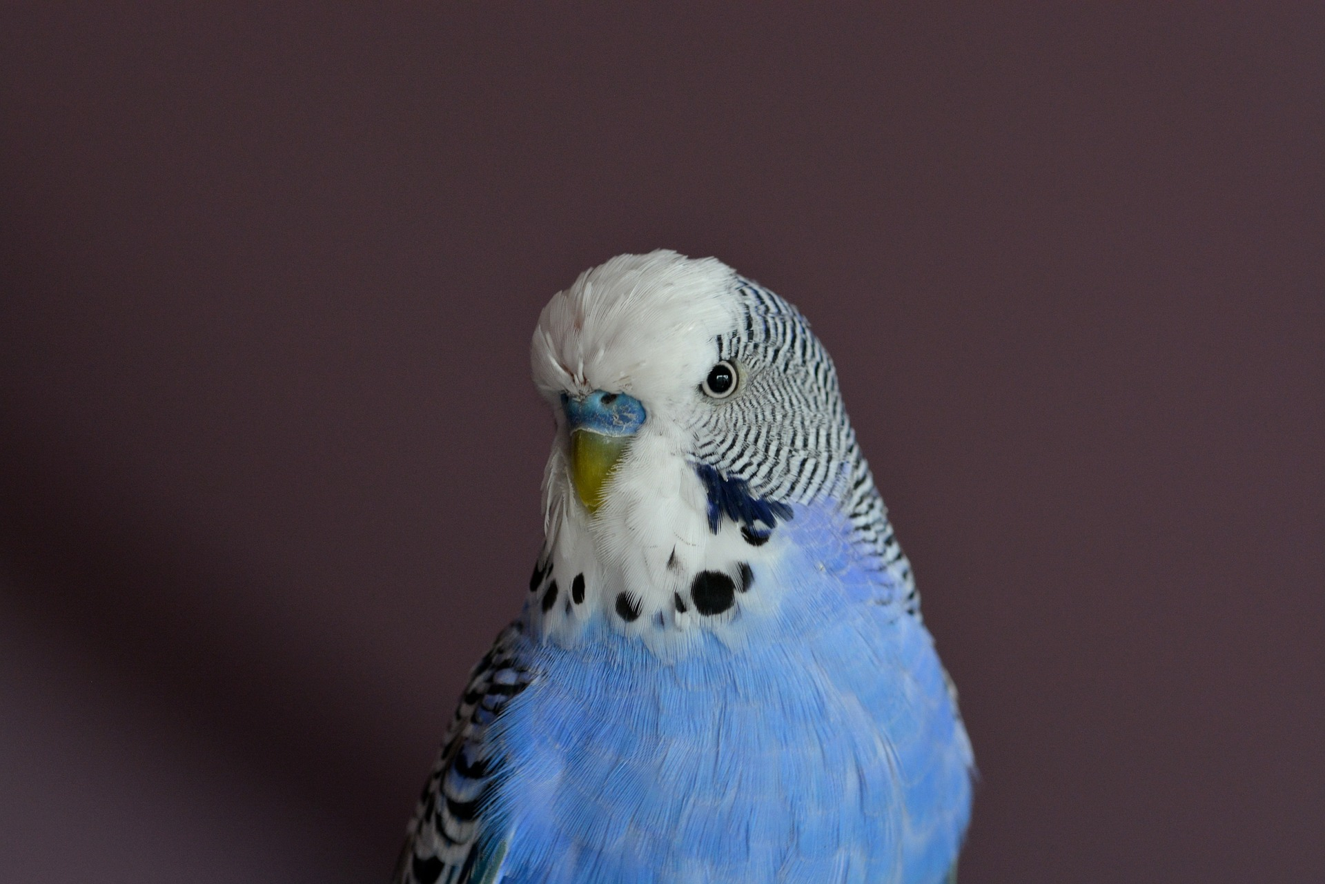 Budgie Computer Wallpaper