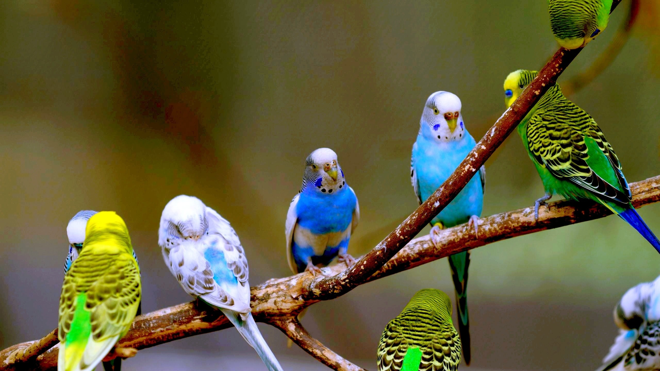 Budgie Images