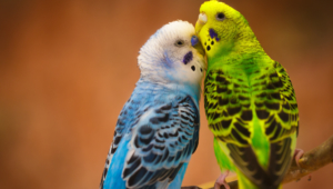 Budgie Pictures
