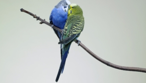 Budgie Wallpaper