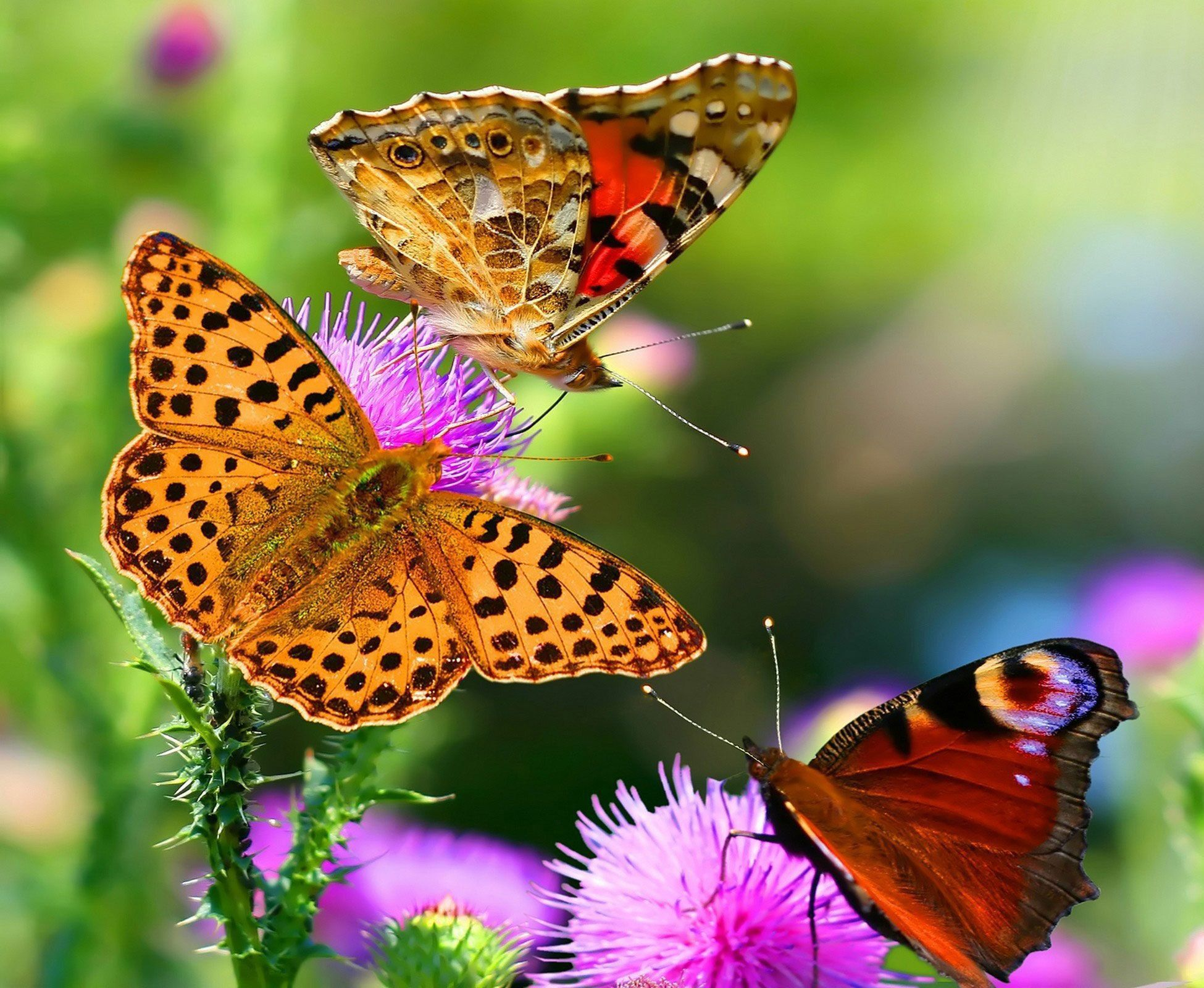 Butterfly High Definition Wallpapers