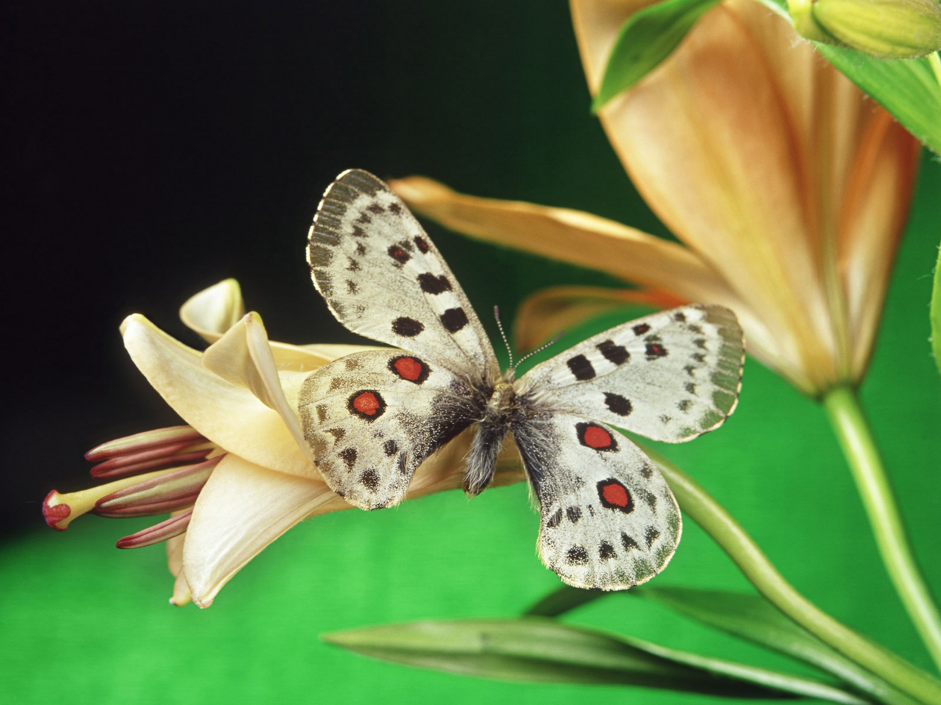 Butterfly High Quality Wallpapers