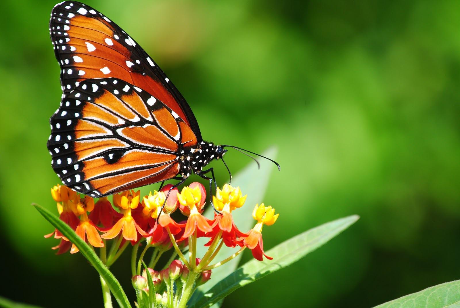 Butterfly Widescreen