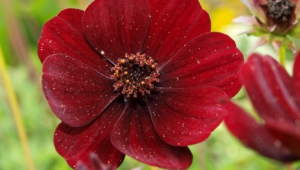 Chocolate Cosmos High Quality Wallpapers