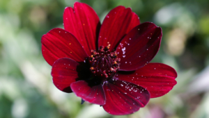 Chocolate Cosmos Images