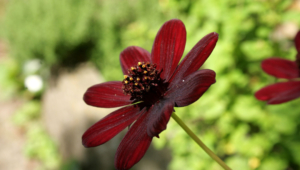 Chocolate Cosmos Pictures