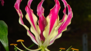 Flame Lily Photos