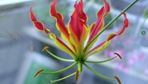Flame Lily Widescreen
