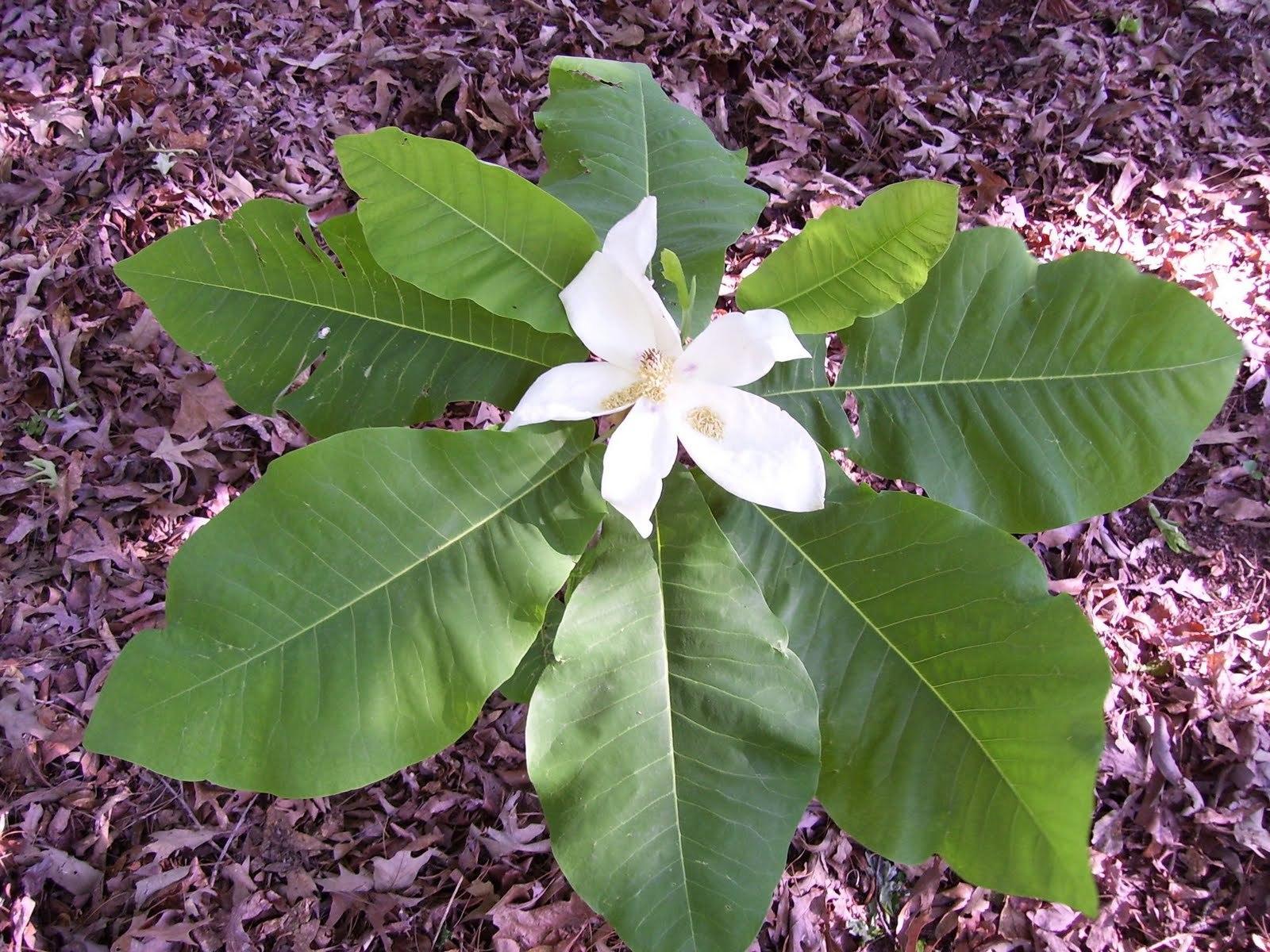 Magnolia Macrophylla Computer Wallpaper