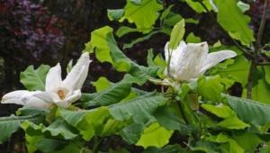 Magnolia Macrophylla HD Desktop