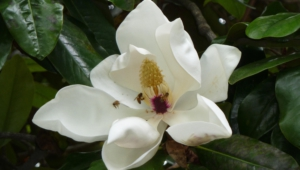 Magnolia Macrophylla HD Wallpaper