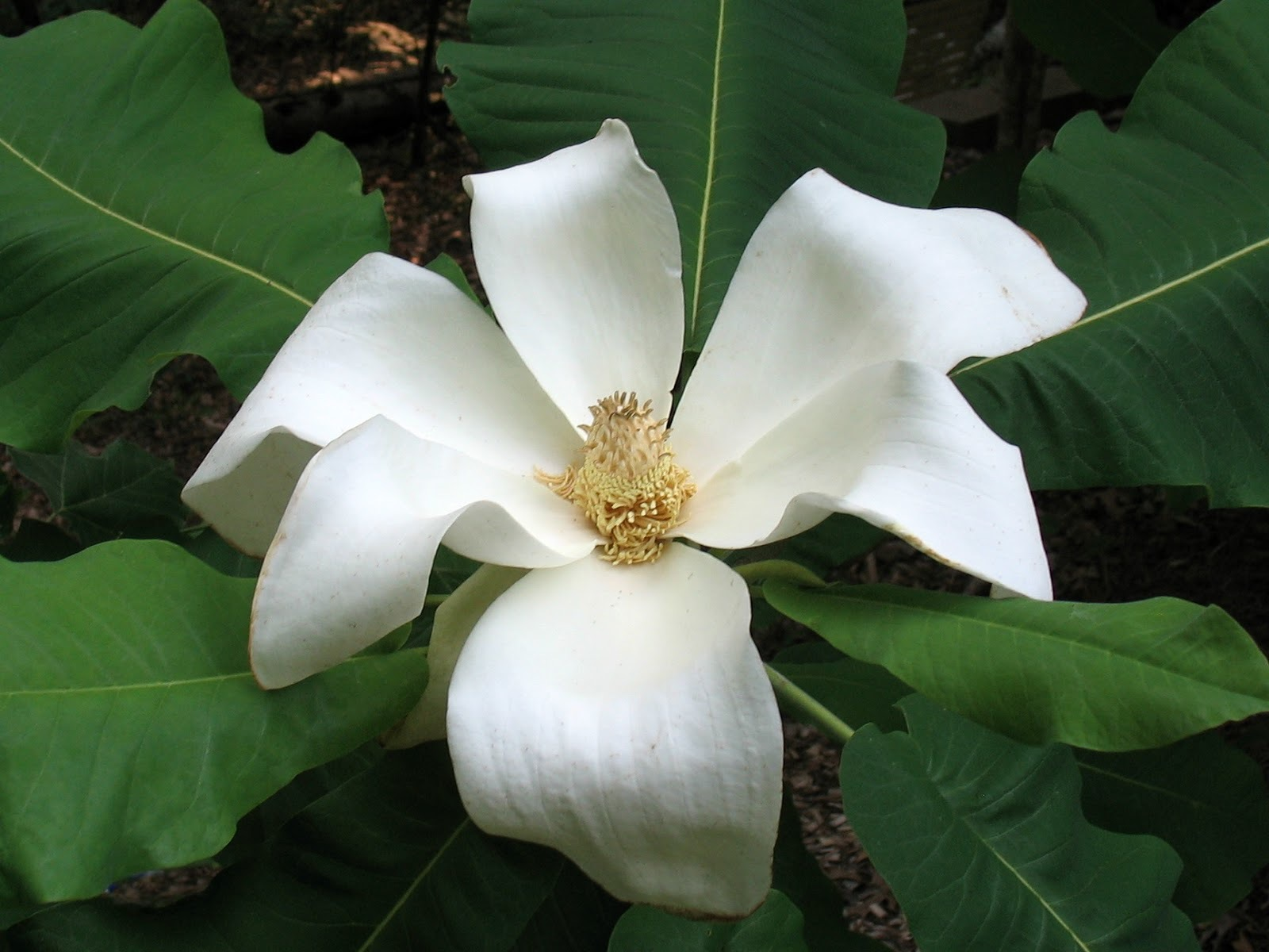 Magnolia Macrophylla High Definition Wallpapers