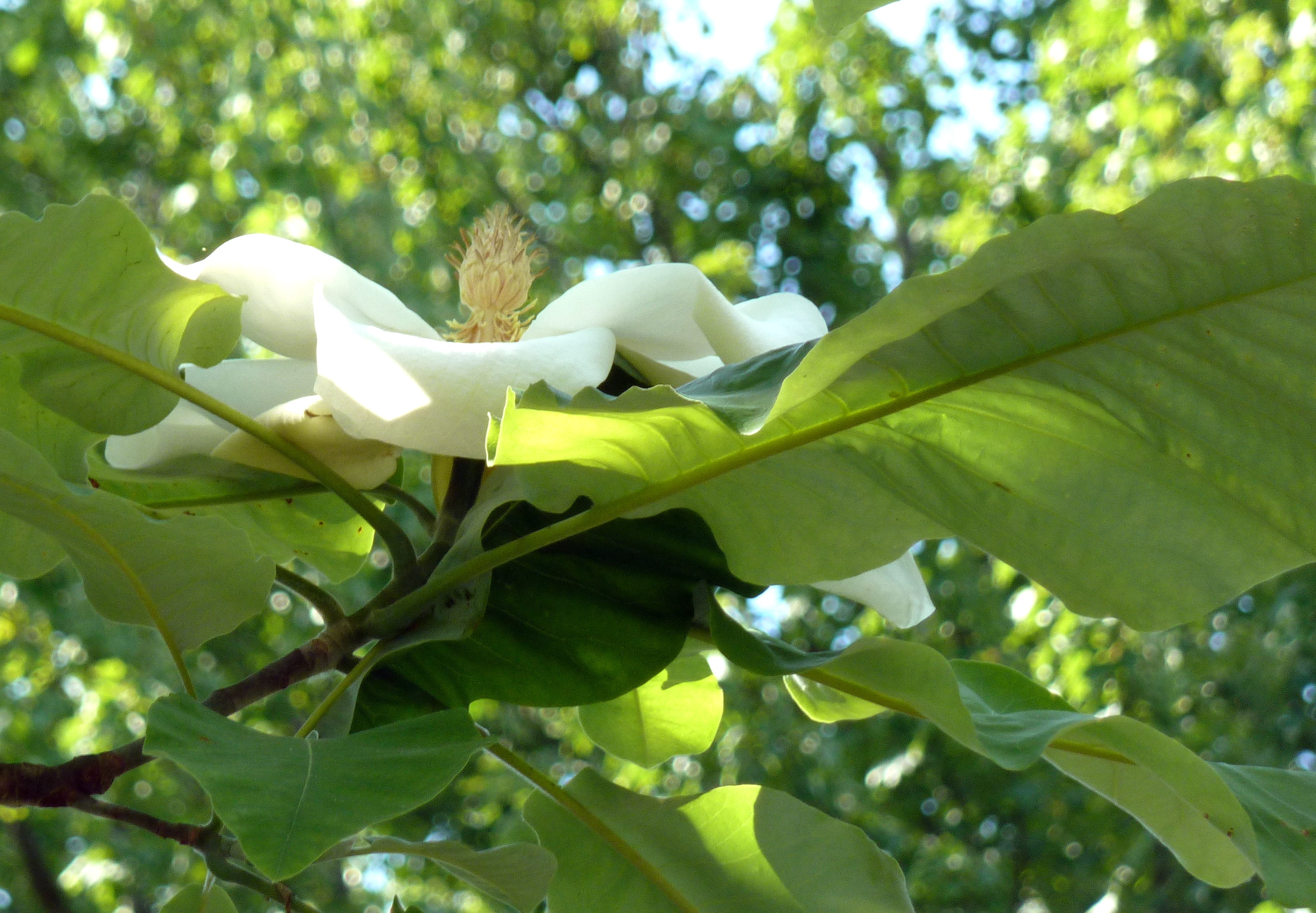 Magnolia Macrophylla Photos