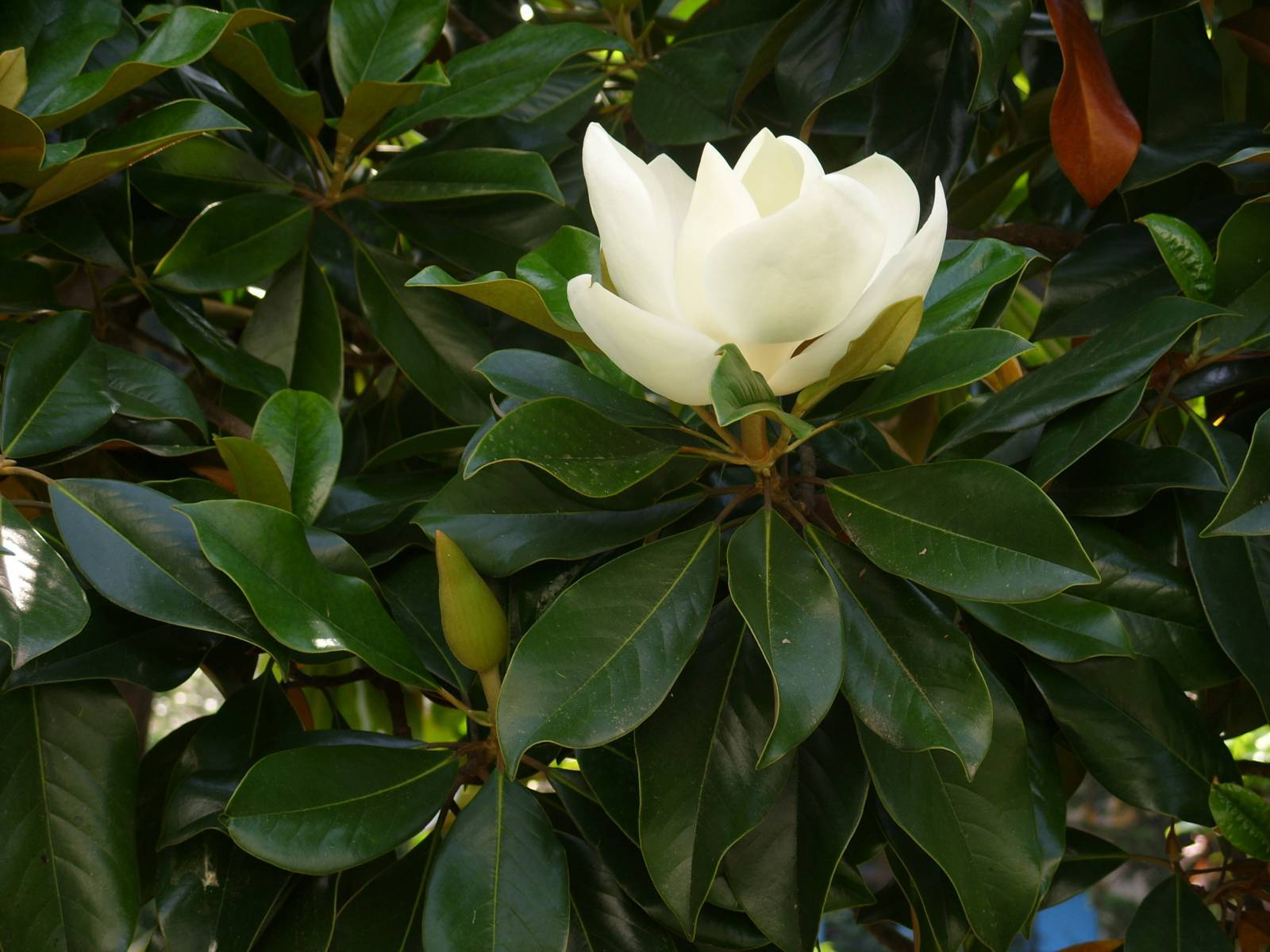Magnolia Macrophylla Wallpaper