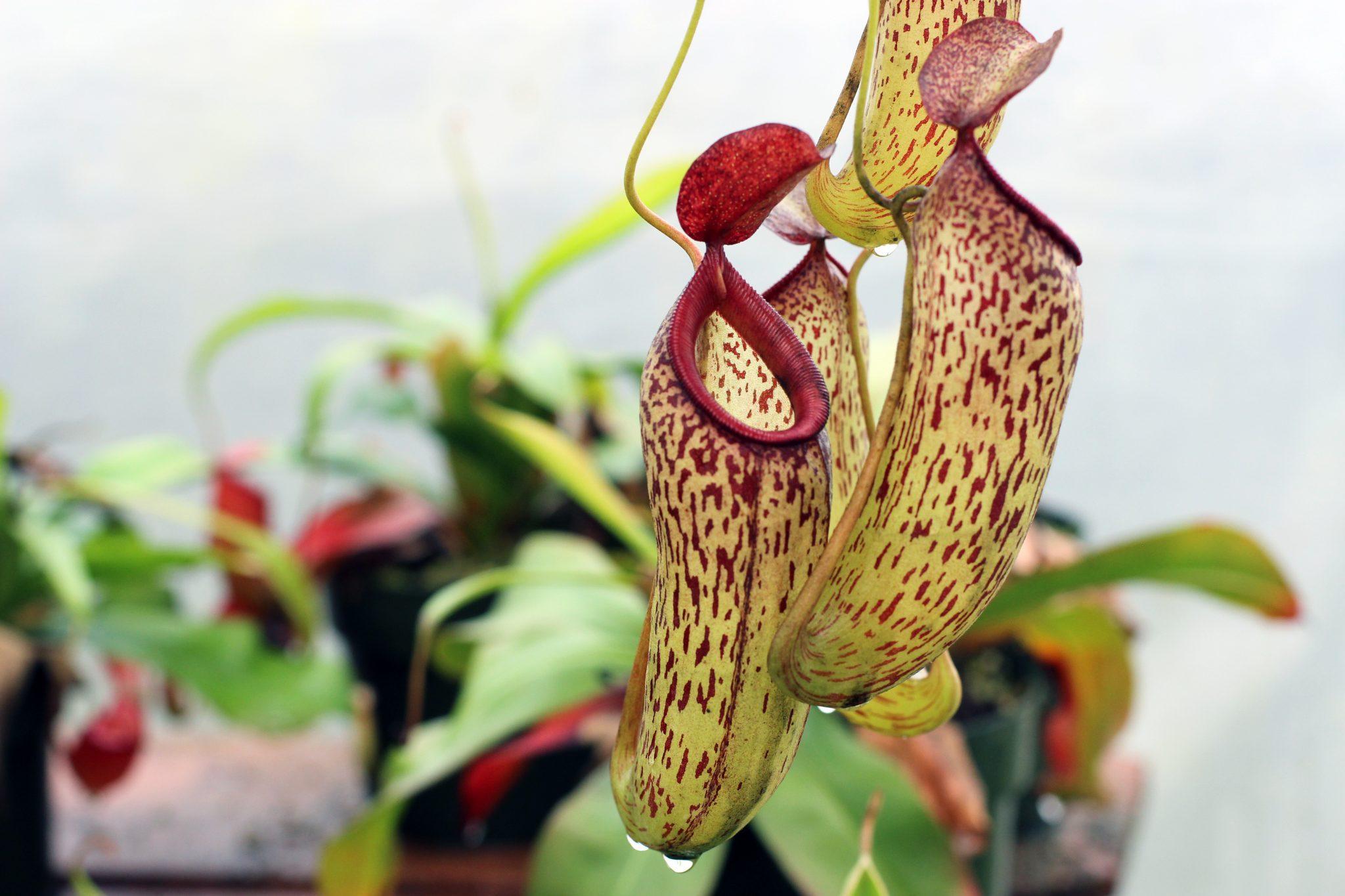 Nepenthes Tenax Desktop