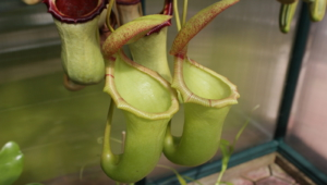 Nepenthes Tenax High Definition Wallpapers