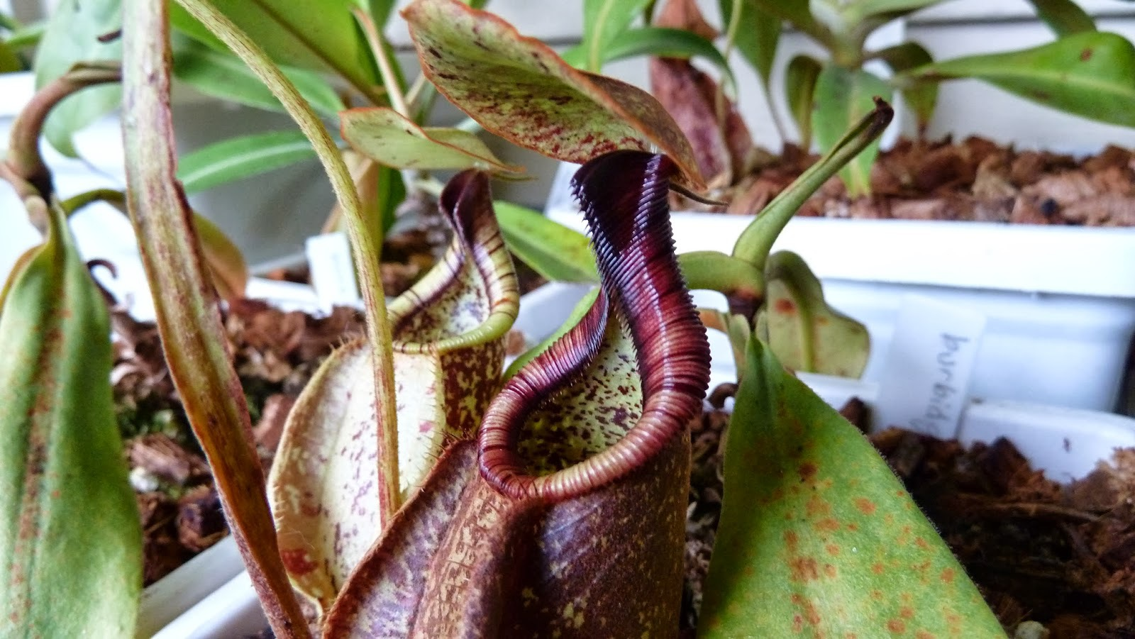 Nepenthes Tenax High Definition