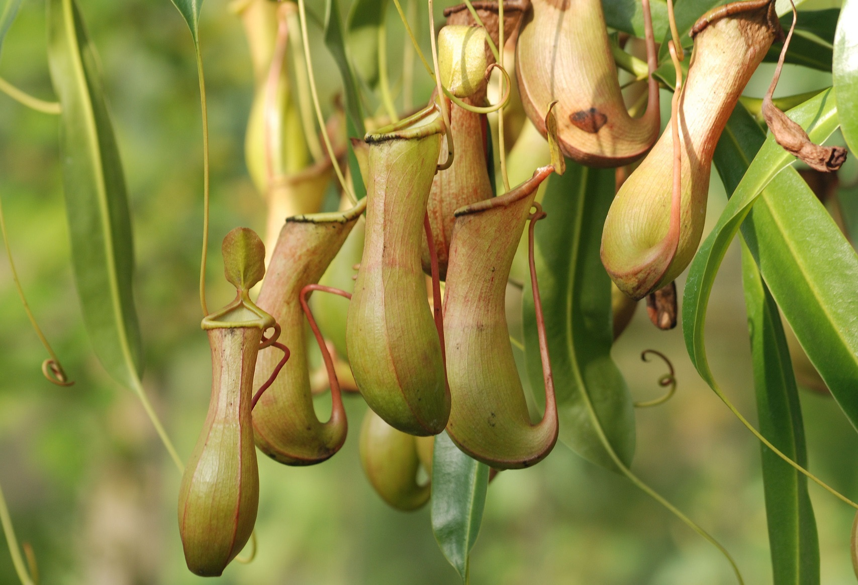 Nepenthes Tenax Images