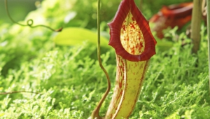 Nepenthes Tenax Photos