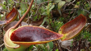 Nepenthes Tenax Widescreen