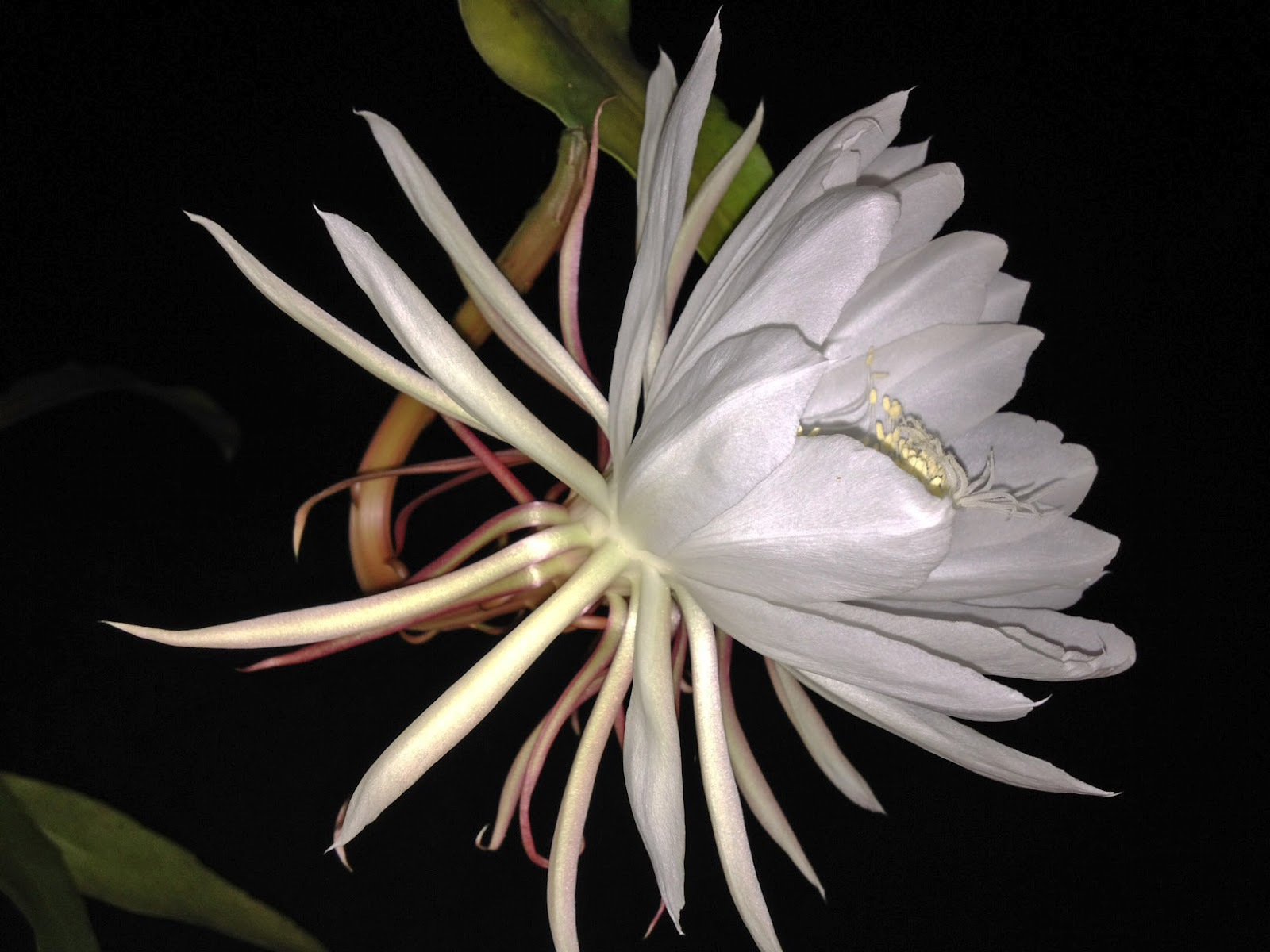 Night Blooming Cereus 4K