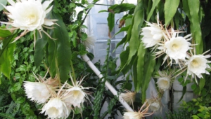 Night Blooming Cereus Background