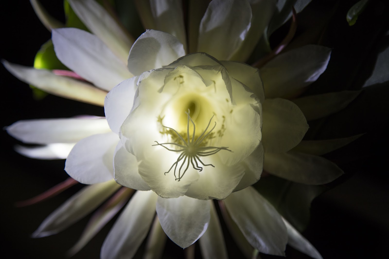 Night Blooming Cereus Computer Wallpaper