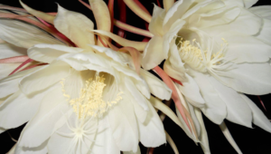 Night Blooming Cereus HD
