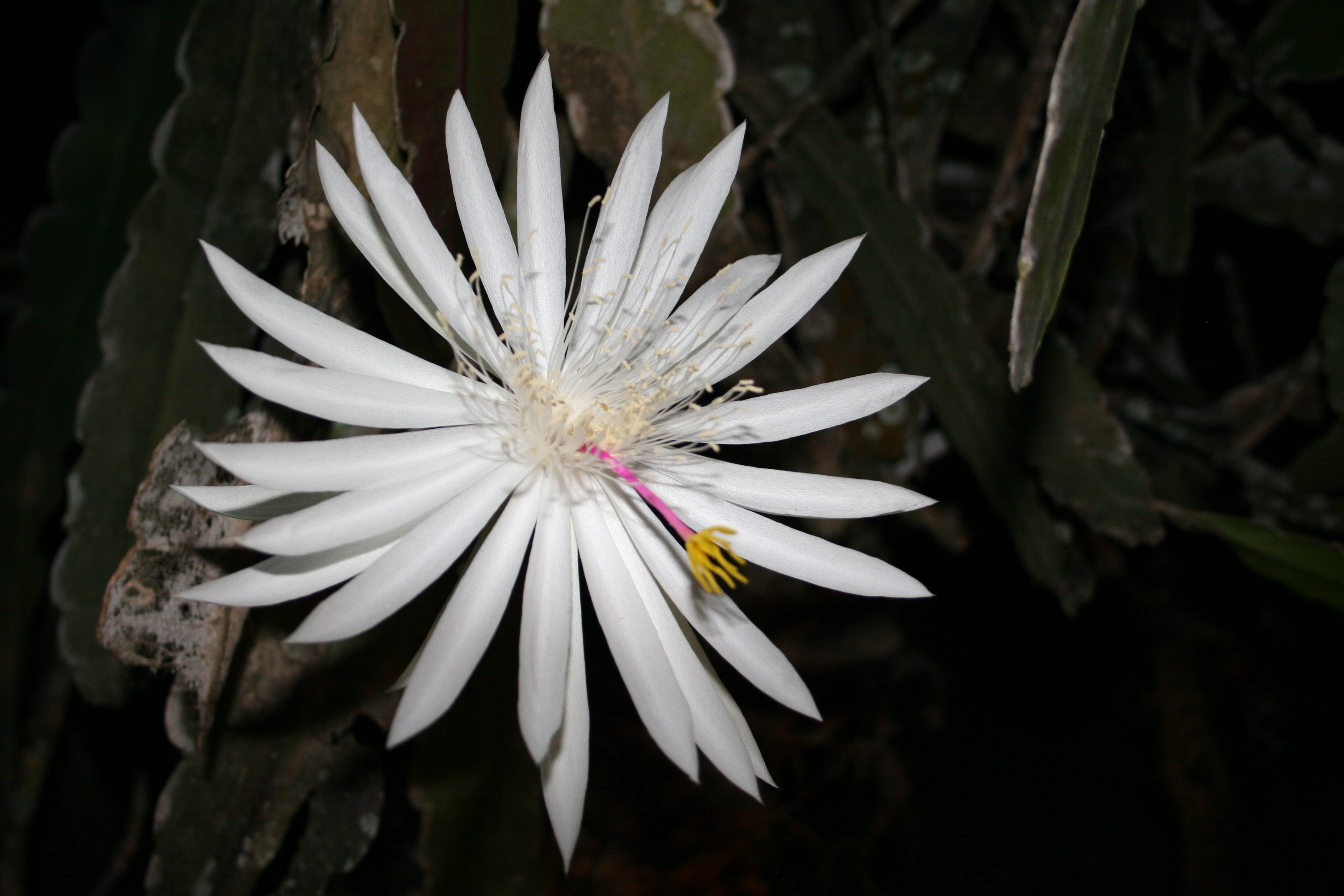 Night Blooming Cereus HD Background