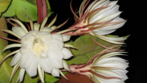 Night Blooming Cereus HD Desktop