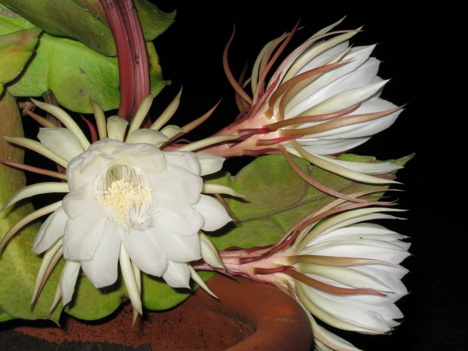 Night Blooming Cereus HD Desktop