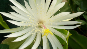 Night Blooming Cereus HD Wallpaper