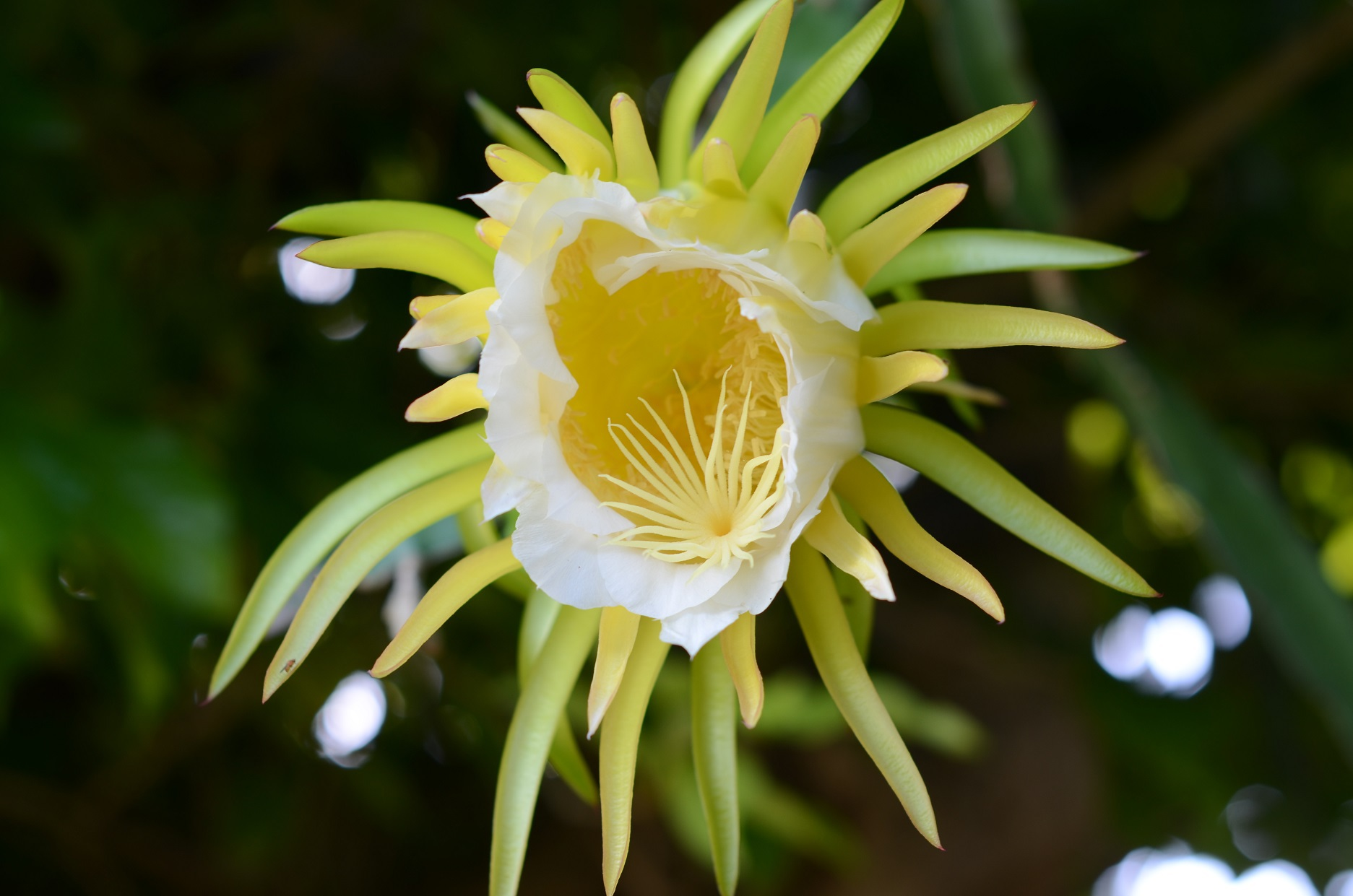 Night Blooming Cereus High Definition Wallpapers
