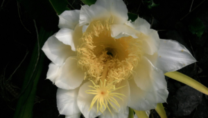 Night Blooming Cereus High Quality Wallpapers