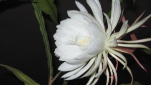 Night Blooming Cereus Images