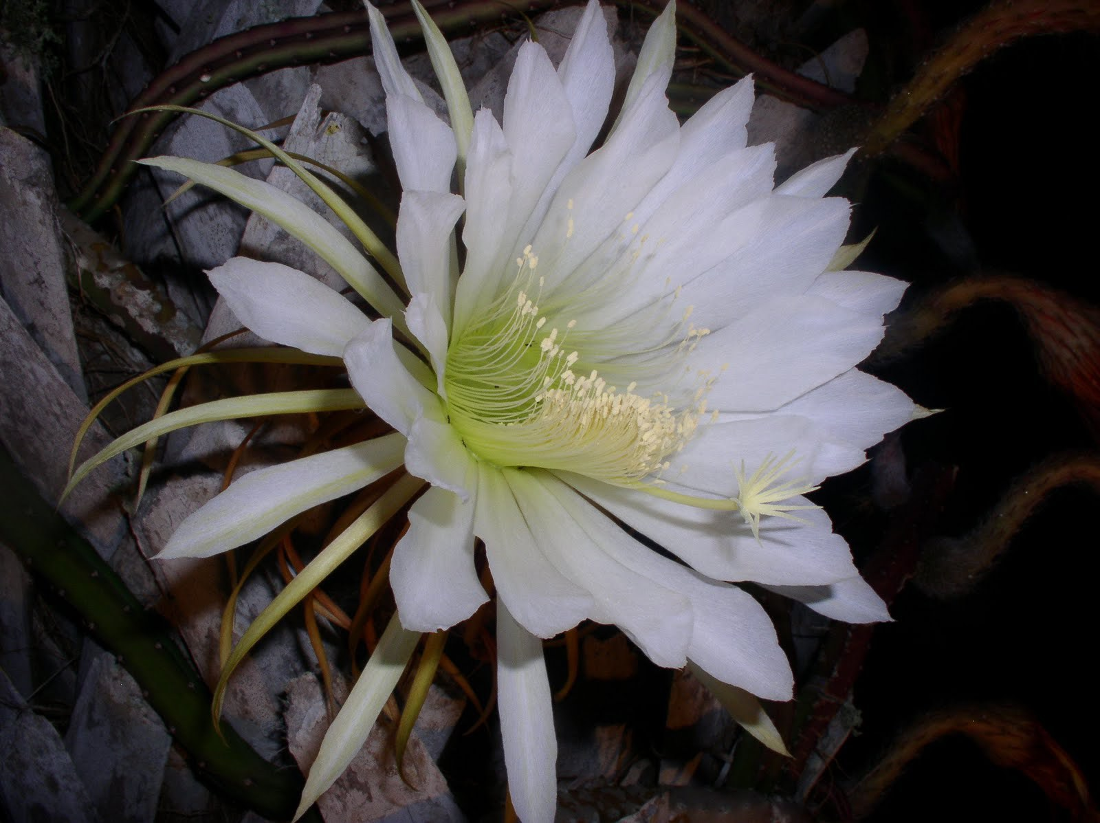 Night Blooming Cereus Photos