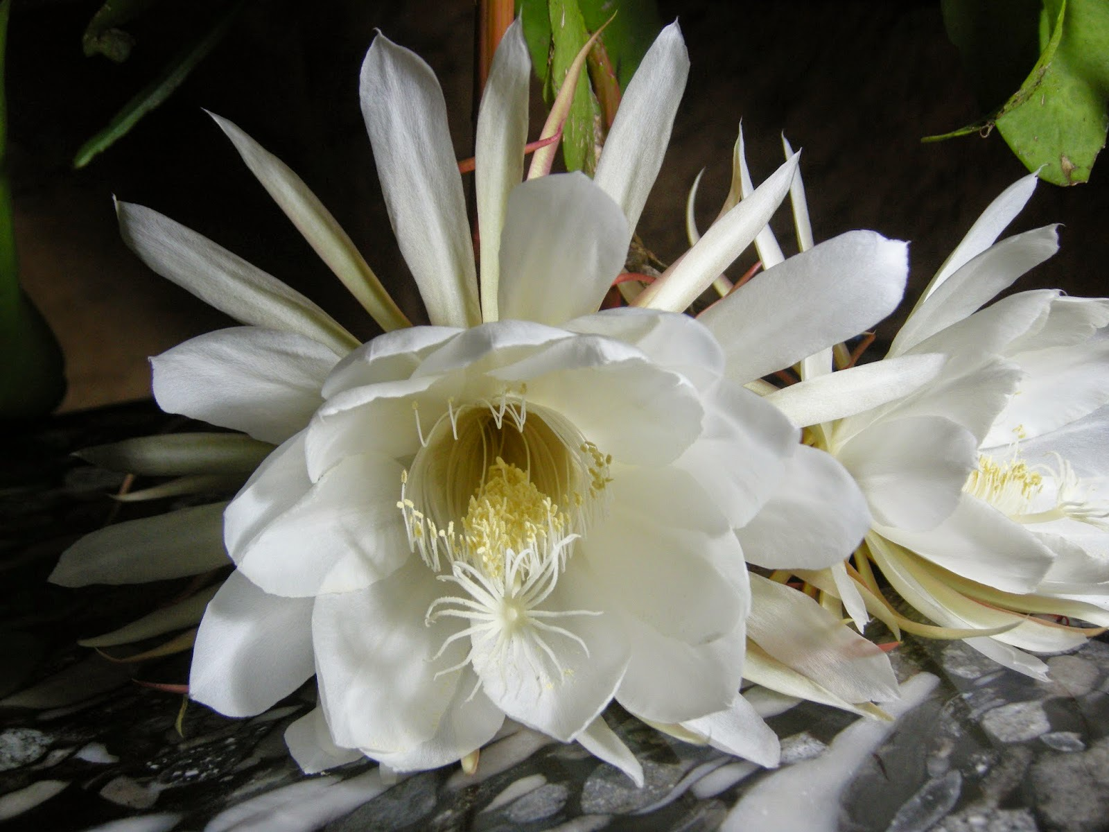Night Blooming Cereus Pictures