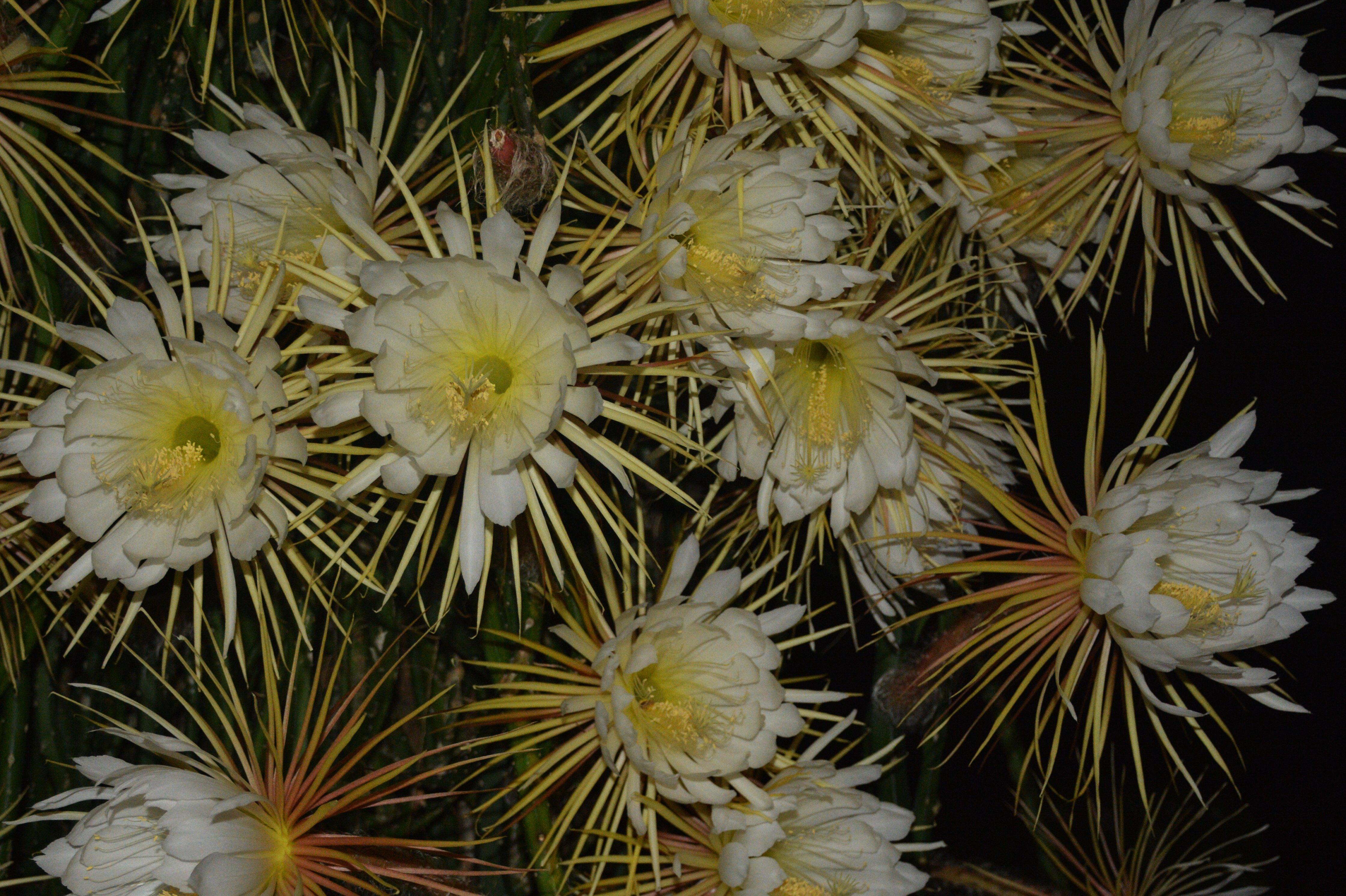 Night Blooming Cereus Wallpaper