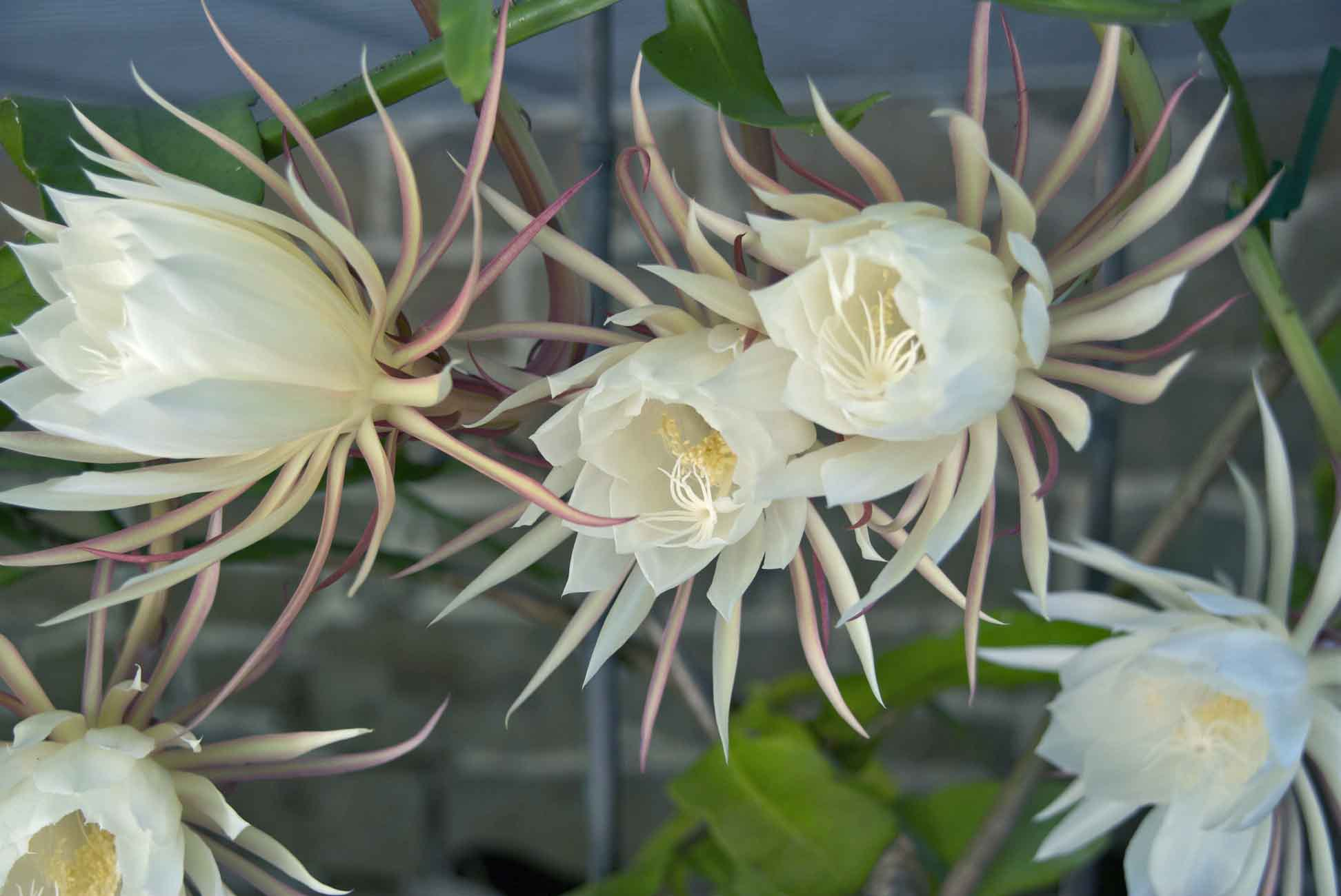 Night Blooming Cereus Wallpapers HQ