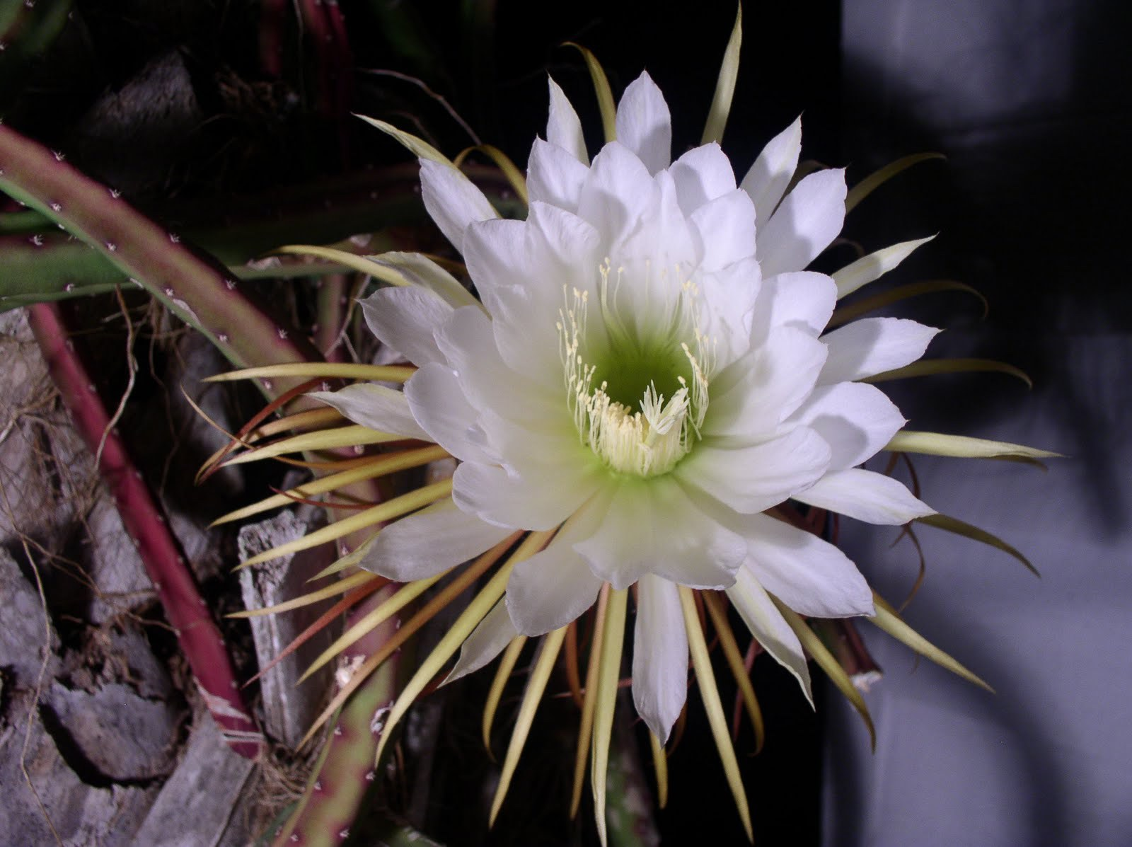 Night Blooming Cereus Widescreen