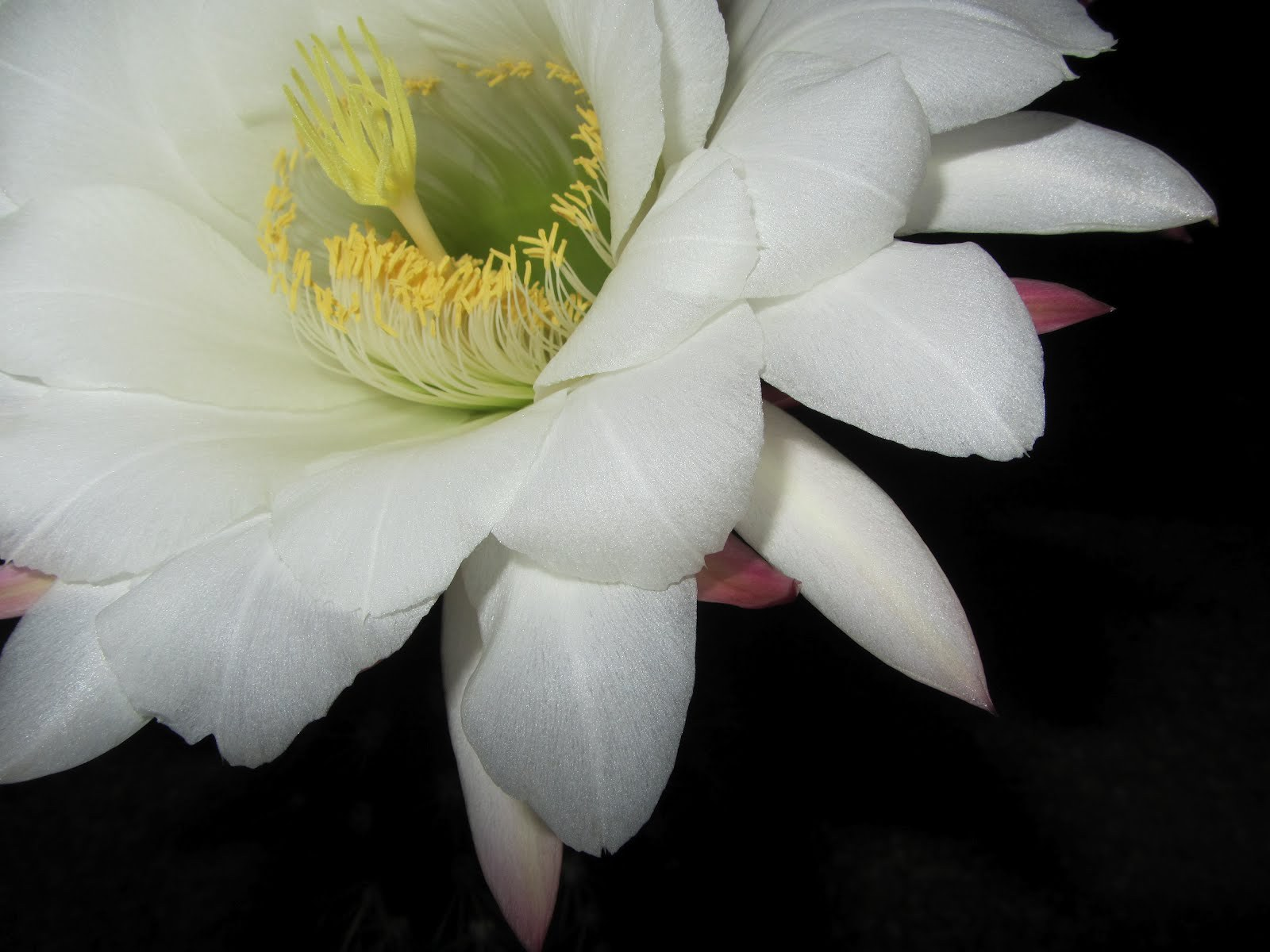 Night Blooming Cereus For Desktop