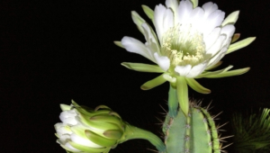 Night Blooming Cereus Full HD