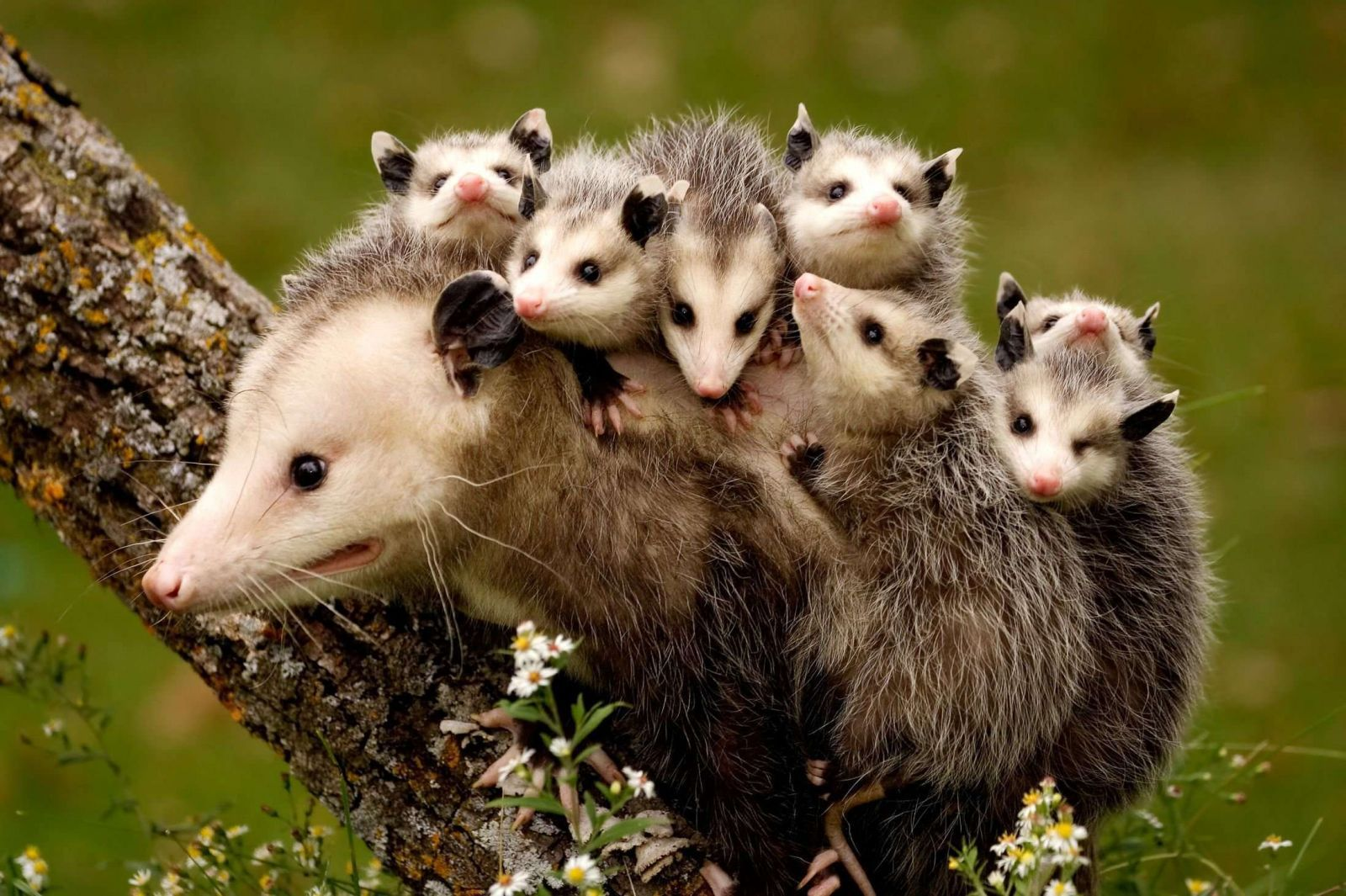 Opossum Iphone Wallpapers