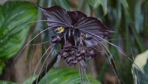 Pictures Of Black Bat Flower
