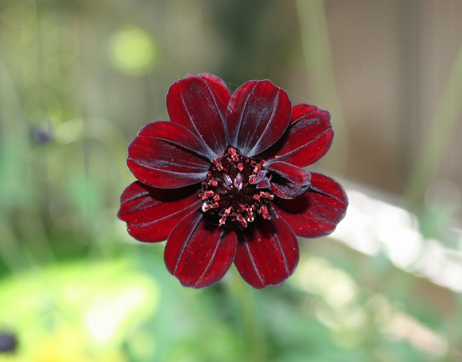 Pictures Of Chocolate Cosmos