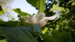 Pictures Of Magnolia Macrophylla
