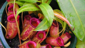 Pictures Of Nepenthes Tenax
